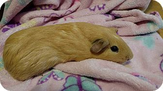 Guinea Pig for adoption in South Bend, Indiana - Carmel