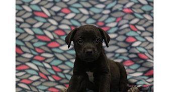 Hound (Unknown Type) Mix Puppy for adoption in Murphysboro, Illinois - Heath