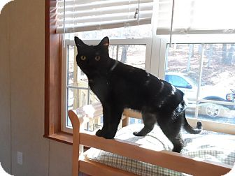 Domestic Shorthair Cat for adoption in Fairfax, Virginia - Onyx