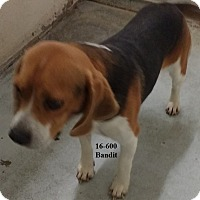Adopt A Pet :: Bandit - Cannelton, IN