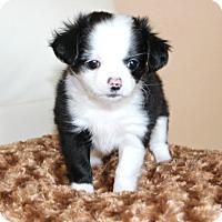 Adopt A Pet :: Panda- pending - Temecula, CA