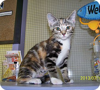 Domestic Shorthair Kitten for adoption in Dover, Ohio - Lata