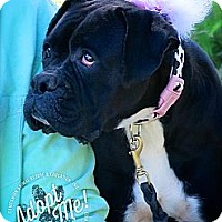 Adopt A Pet :: Betty the Boxer - Albany, NY