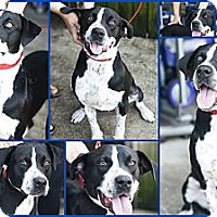 Adopt A Pet :: rambo - hollywood, FL