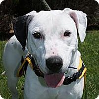 Adopt A Pet :: Milkshake - Rockaway, NJ