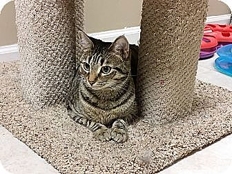 Domestic Shorthair Cat for adoption in Marietta, Georgia - Debra