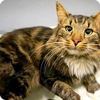 Adopt A Pet :: Mr. Tiger - Chattanooga, TN
