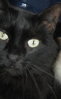 Domestic Mediumhair Cat for adoption in Coos Bay, Oregon - Lincoln