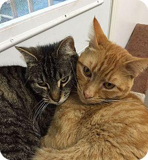 Domestic Shorthair Cat for adoption in San Andreas, California - Eli & Christie