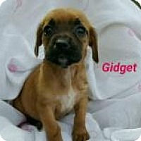 Adopt A Pet :: Gidget - Marlton, NJ