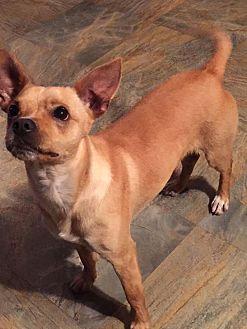 Chihuahua Mix Dog for adoption in Oklahoma City, Oklahoma - Hugo
