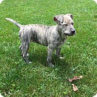 Adopt A Pet :: Isla's Pearl - Alexandria, VA