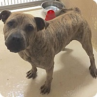 American Bulldog Mix Dog for adoption in Loudon, Tennessee - Stewie