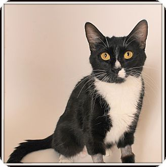 Domestic Shorthair Cat for adoption in Glendale, Arizona - Yoko