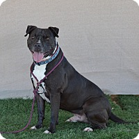 American Pit Bull Terrier/Pit Bull Terrier Mix Dog for adoption in La Quinta, California - Buster