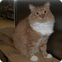 Domestic Mediumhair Cat for adoption in Capshaw, Alabama - Leopold