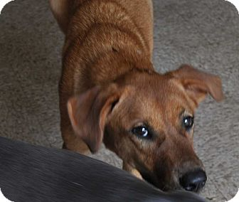 Shepherd (Unknown Type) Mix Puppy for adoption in Hardeeville, South Carolina - Patsy
