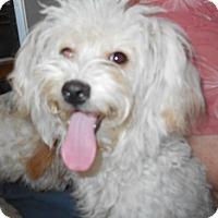 Adopt A Pet :: Bon Bon - Albany, OR