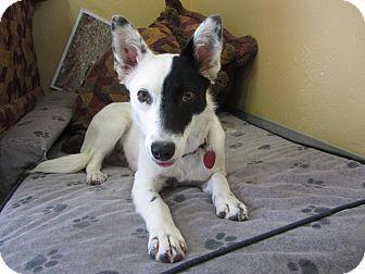 Border Collie Dog for adoption in Ridgway, Colorado - Jinx