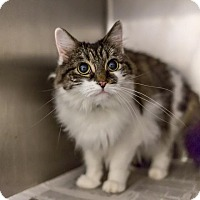 Domestic Mediumhair Cat for adoption in Libertyville, Illinois - Sophia