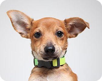 Terrier (Unknown Type, Medium) Mix Puppy for adoption in Edina, Minnesota - Haggar D161513: PENDING ADOPTION