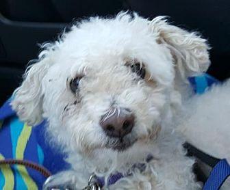 Miniature Poodle Dog for adoption in Scottsdale, Arizona - Bob