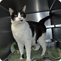 Domestic Shorthair Cat for adoption in Wheaton, Illinois - P.J.