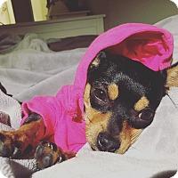 Chihuahua Dog for adoption in Redondo Beach, California - Frida-ADOPT Me!