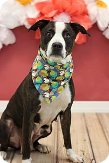 Pit Bull Terrier/Terrier (Unknown Type, Medium) Mix Dog for adoption in Colmar, Pennsylvania - Cider