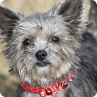 Adopt A Pet :: Toto - Broken Arrow, OK