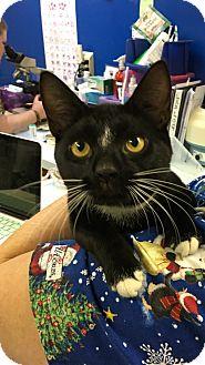 Domestic Shorthair Cat for adoption in Richboro, Pennsylvania - Gus Gus