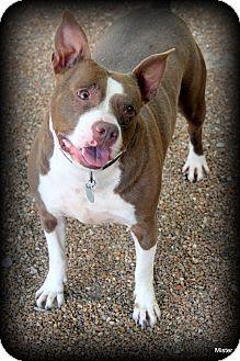 Boston Terrier/Pit Bull Terrier Mix Dog for adoption in O Fallon, Illinois - Layla