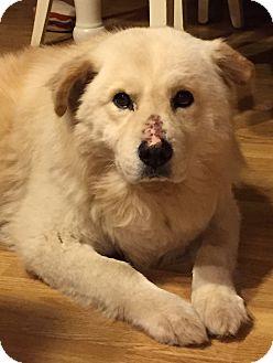 Chow Chow Mix Dog for adoption in Joliet, Illinois - Jojo