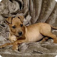Adopt A Pet :: Scooby - Lima, PA