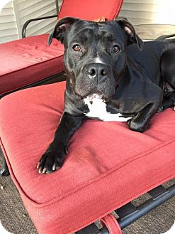 American Staffordshire Terrier Dog for adoption in Troy, Michigan - Piper