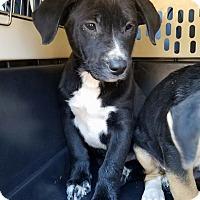 Adopt A Pet :: Sonnet - Gainesville, FL