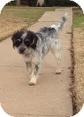 Terrier (Unknown Type, Medium) Mix Dog for adoption in Justin, Texas - Oscar