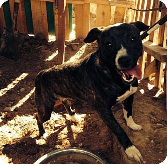 Staffordshire Bull Terrier Mix Dog for adoption in San Diego, California - Salsa