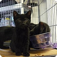 Adopt A Pet :: Onyx - Island Park, NY