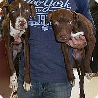 Adopt A Pet :: Hansel- URGENT! - Columbus, OH