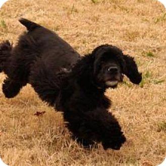 Cocker Spaniel Dog for adoption in McKinney, Texas - Bess