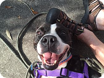 American Staffordshire Terrier/Boxer Mix Dog for adoption in Jacksonville, Florida - Bella