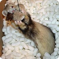 Ferret for adoption in Indianapolis, Indiana - Munchkin