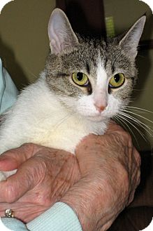 Domestic Mediumhair Kitten for adoption in Hillsboro, Illinois - Abby