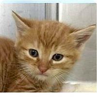 Adopt A Pet :: Kanye - Springdale, AR