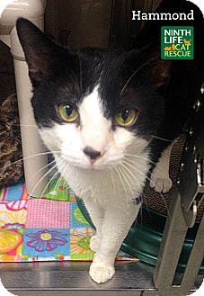 Domestic Shorthair Cat for adoption in Oakville, Ontario - Hammond