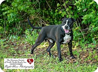 American Pit Bull Terrier/Boxer Mix Dog for adoption in North Myrtle Beach, South Carolina - Kojack
