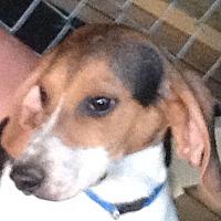 Beagle Dog for adoption in Columbia, Kentucky - Moe