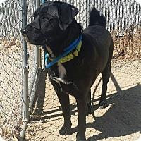 Adopt A Pet :: Moose - Meridian, ID