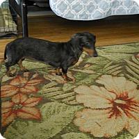 Adopt A Pet :: Little Bit - Charlotte, NC